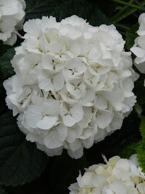 Centennial Park Conservatory 2018 Easter Flower Show Florist Hydrangea by garden muses-not another Toronto gardening blog
