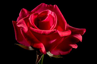 rose essential oil used for skin care, emotional balance and menstrual problems