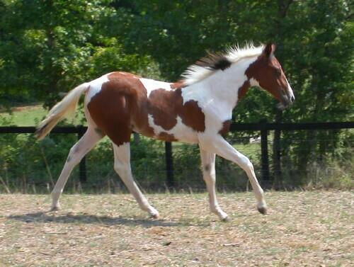 pinto horse pictures submited - photo #9