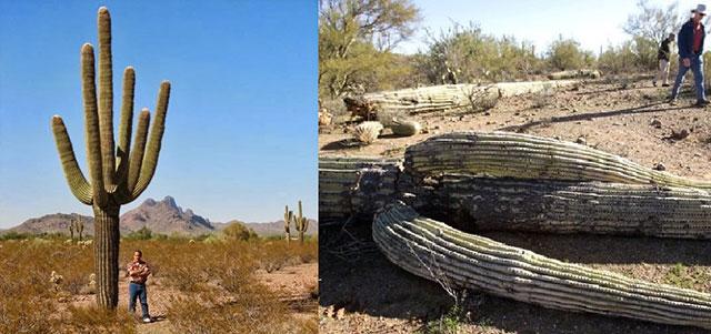 Mati Tertimpa Kaktus