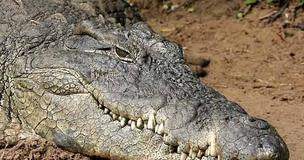 encounters with crocodiles essay Unlike most editing & proofreading services, we edit for everything: grammar, spelling, punctuation, idea flow, sentence structure, & more get started now.