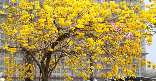 台中太平太順路黃金風鈴木盛開