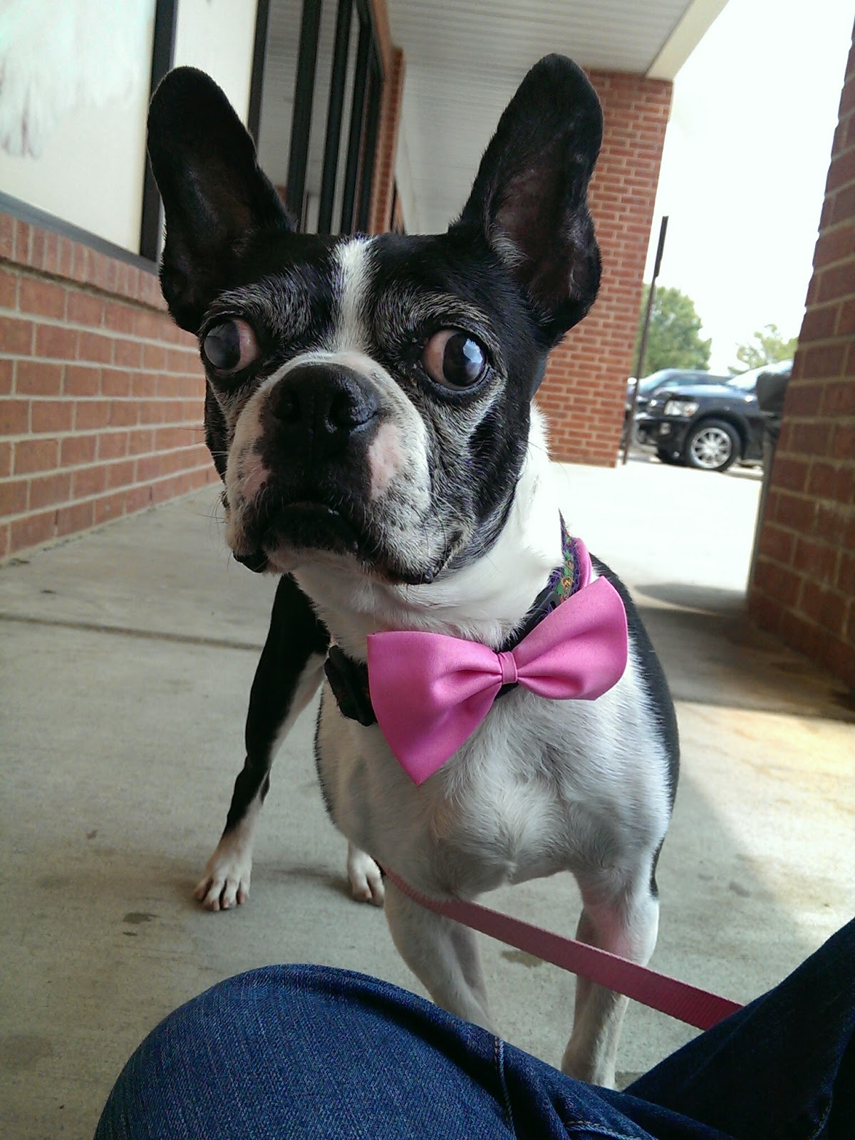 boston terrier texas texas boston terrier rescue s blog meet quincy 1857