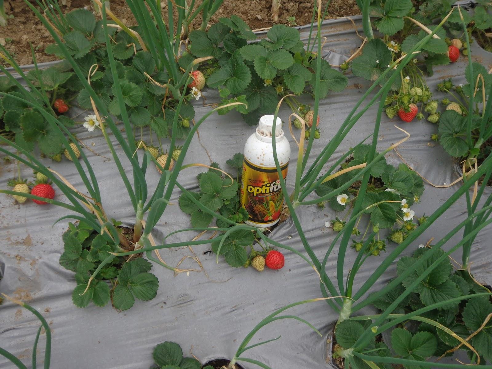 Kedua tanaman tumbuh optimal, tanpa berebut nutrisi