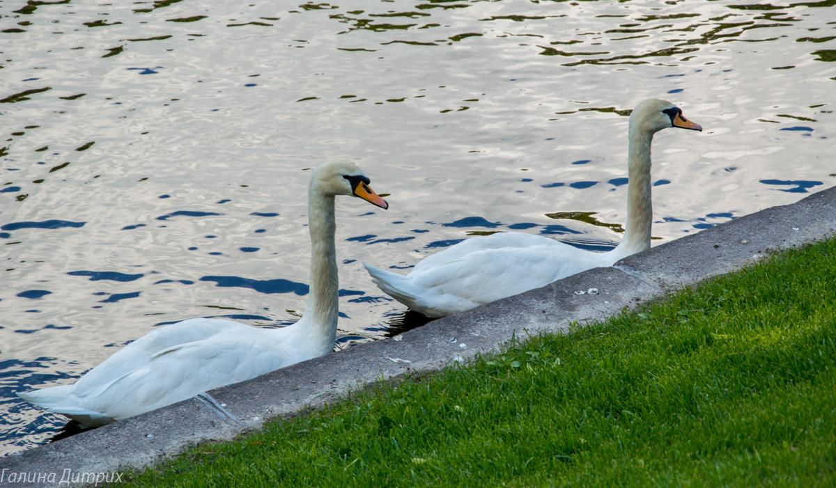 Лебеди в Летнем саду фото