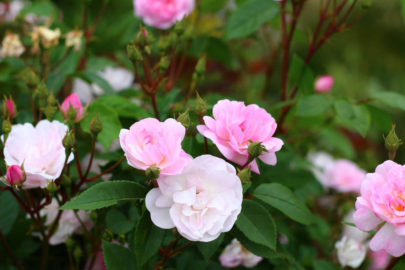 Roses du jardin ch neland rosier narrow water - Beau jardin rose and geranium ...