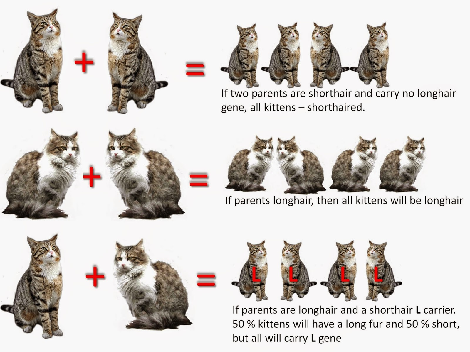 Angora Cat Anatolian Cat Pet Gallery