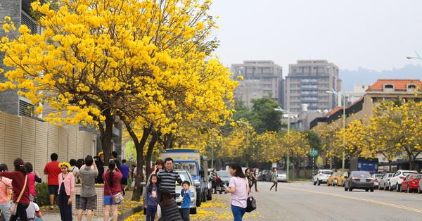 台中太平|2018太順路黃花風鈴木盛開|馬路兩旁開滿花|變成黃金大道