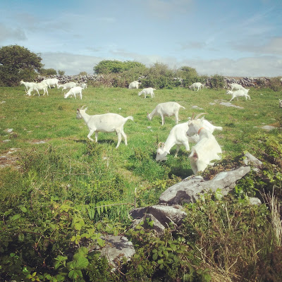 Just another drive through rural Ireland - a herd of ivory goats. Photo by Elena Rosenberg.