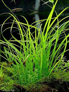 Trại cây thủy sinh Vinh Aqua - cây cỏ cọp