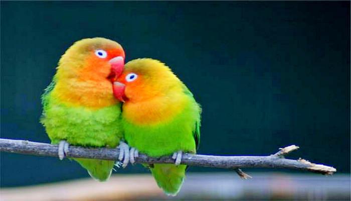 Cara Menjodohkan dan Mengawinkan Lovebird