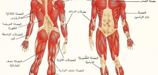 ما هي العضلة