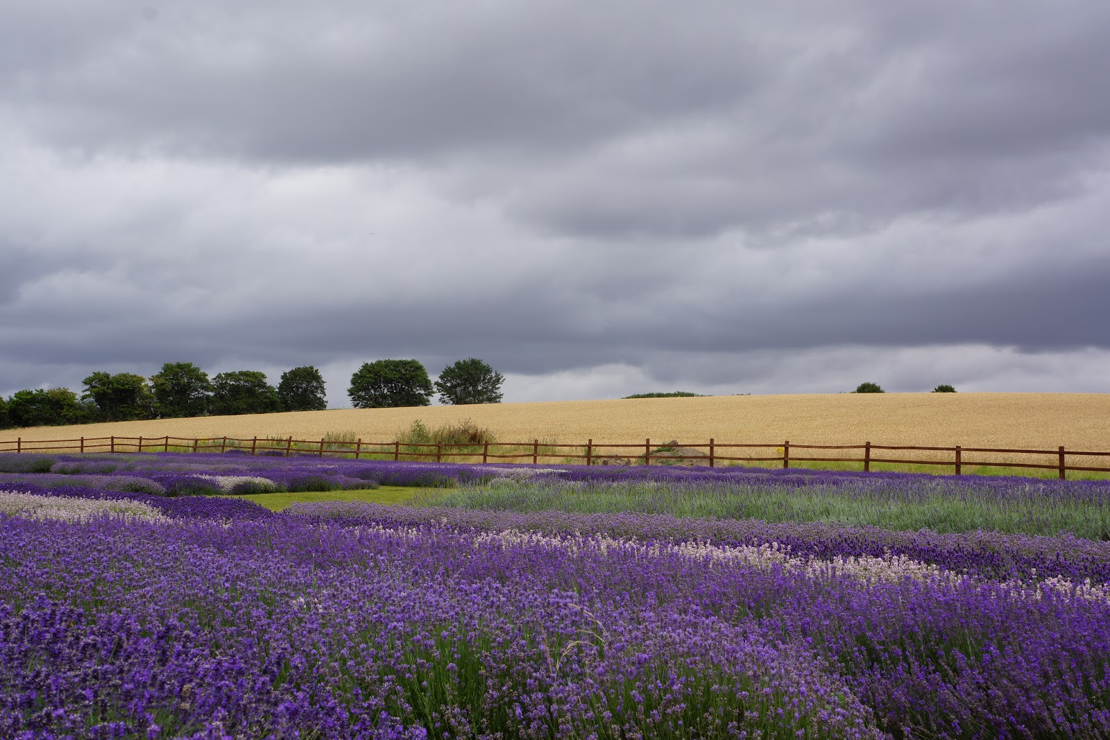 hitchin lavender wheat and lavender fields