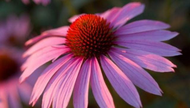 Lima Tanaman Herbal Ampuh Tingkatkan Kekebalan Tubuh