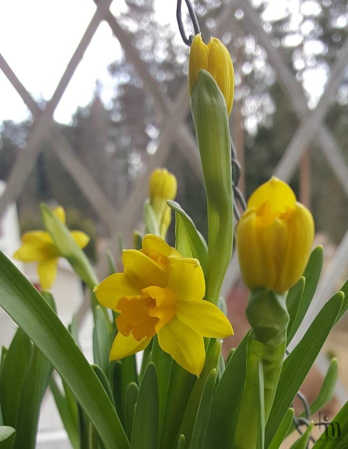 keltaiset narsissit kukkivat
