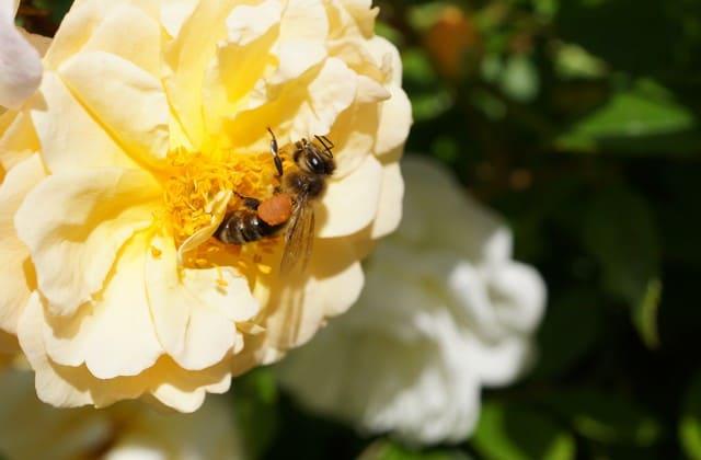 Penyerbukan bunga mawar