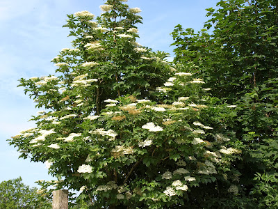 An image of elderflowers (Sambucus nigra) in a hedgerow in Scotland