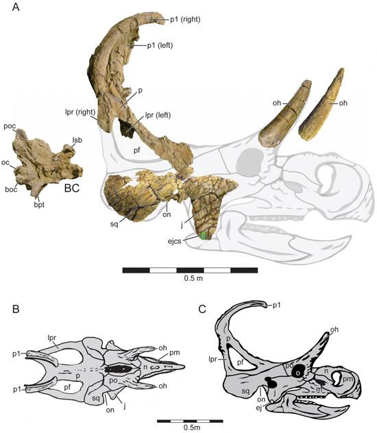 Machairoceratops cronusi - fósseis