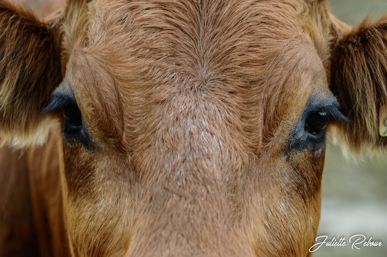 Vache tarine, Savoie