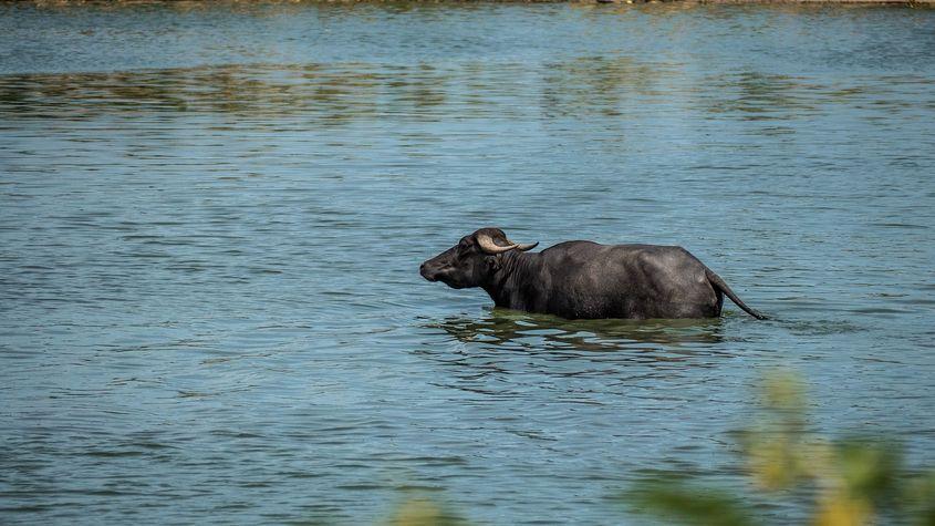 A carabao bathing in a pond in Nueva Ecija
