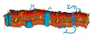 PENGERTIAN MEMBRAN SEL dan Fungsi Membran Sel