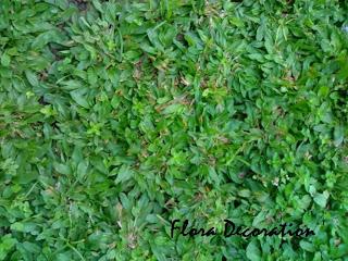 Jual rumput Taman gajah mini murah | gajah mini varigata murah | tukang tanam rumput
