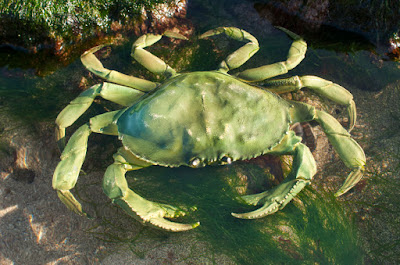 Green Crab Ballast Invasive Species