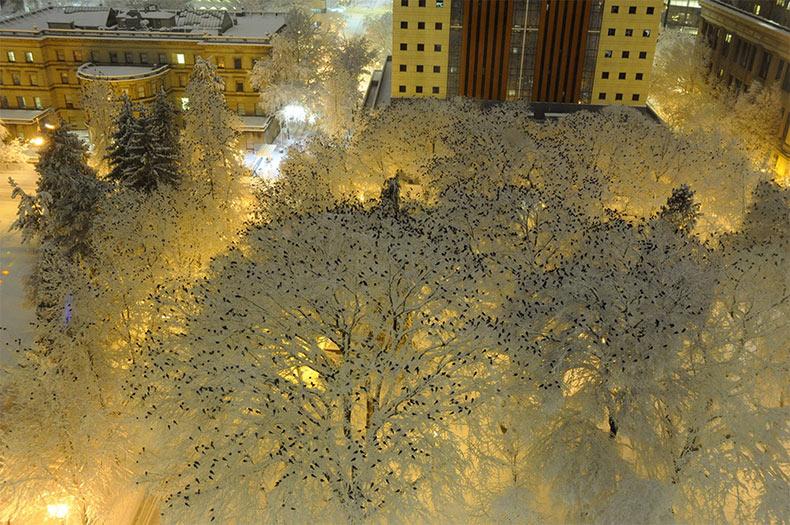 Miles de pájaros fotografiados encima de los árboles cargados de nieve
