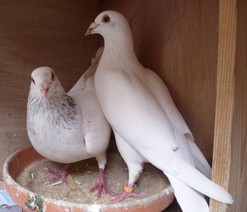 pigeons voyageurs le comportement du pigeon reproducteur. Black Bedroom Furniture Sets. Home Design Ideas