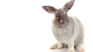 fakta ternak kelinci