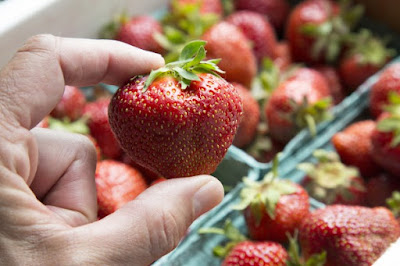 Cornell University grows peach-sized strawberries
