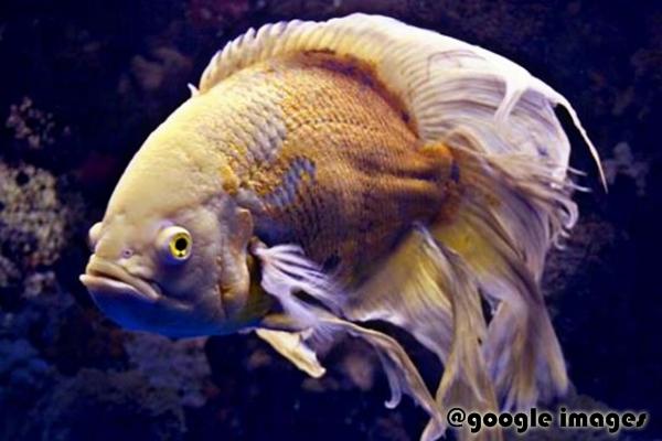 Gambar Ikan Oscar Veiltail