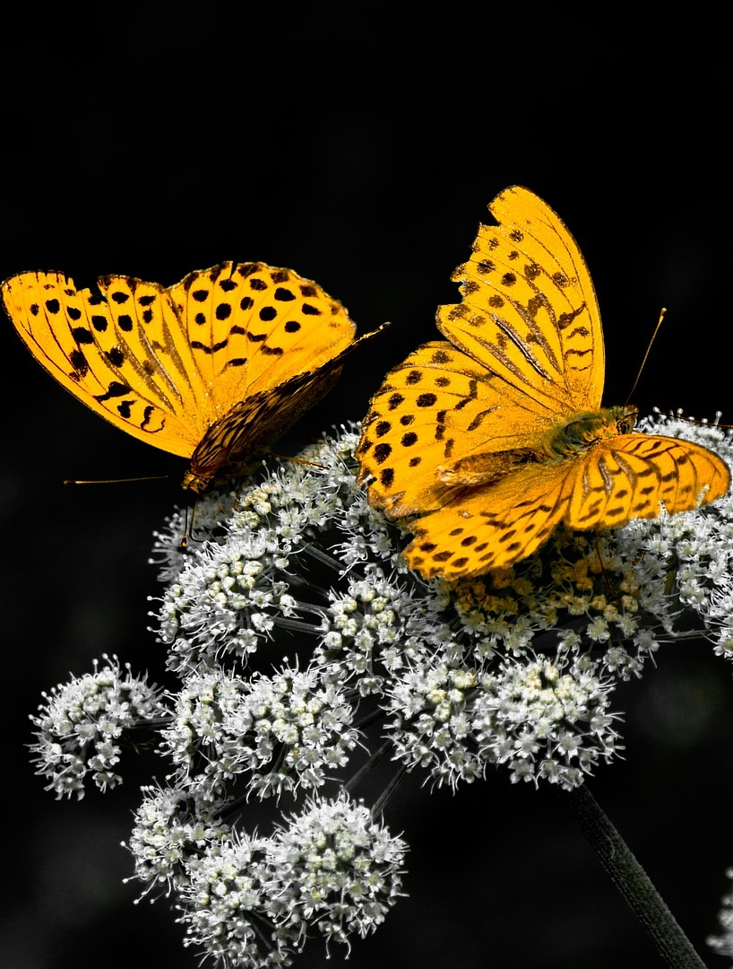 Pair of yellow butterflies.