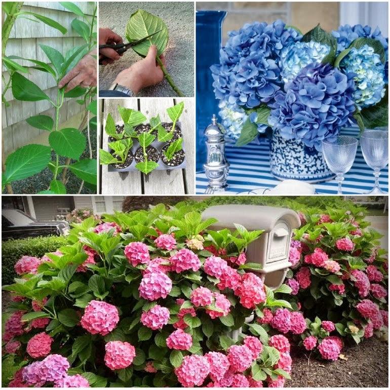 Plant Hydrangeas: Ideas & Products: Grow Hydrangeas