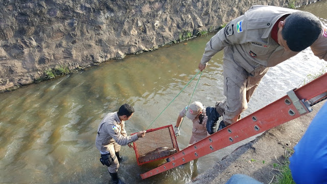 Sucuri de 4 metros é capturada após ser vista nadando em igarapé no Centro de Ji-Paraná