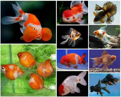 Cara Memelihara Ikan Mas Koki di Toples, Akuarium
