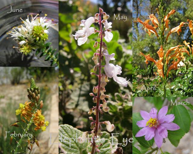 Agathosma apiculata, Plectranthus madagascariensis, Tecoma capensis Bulbine frutescens, Grewia occidentalis  (Searsia crenata  has TINY flowers = Six) for False Bay in Dozen for Diana)