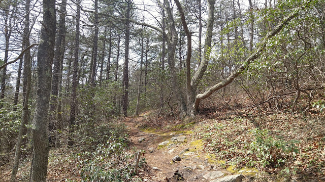Narrow, rocky footpath climbs up and to the right through mountain laurel. North Fork Mountain Trial, West Virginia.