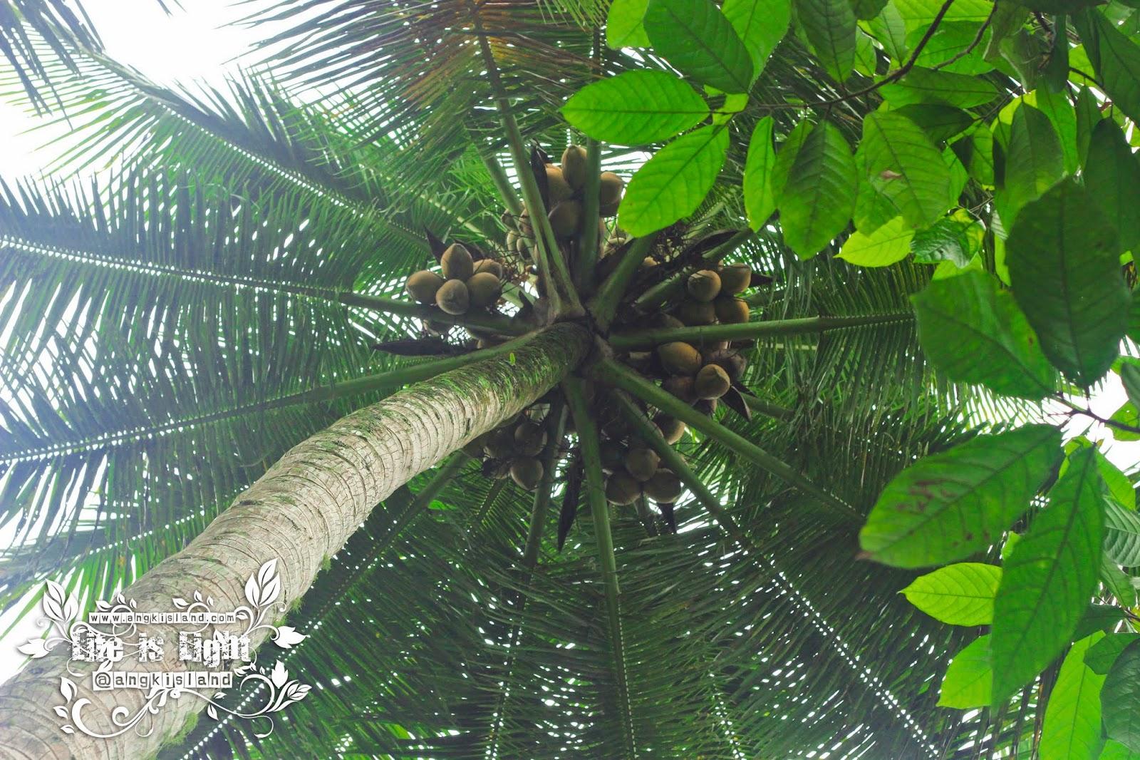 kelapa kulonprogo