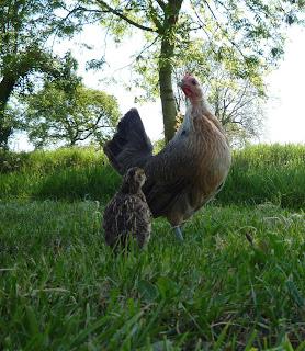 Organically raised quail chicks free-ranging
