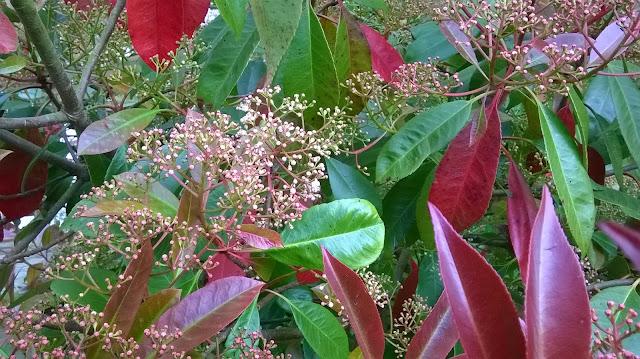 Life between the flowers-Photinia Red Robin's white pink tinged flowers appear in May