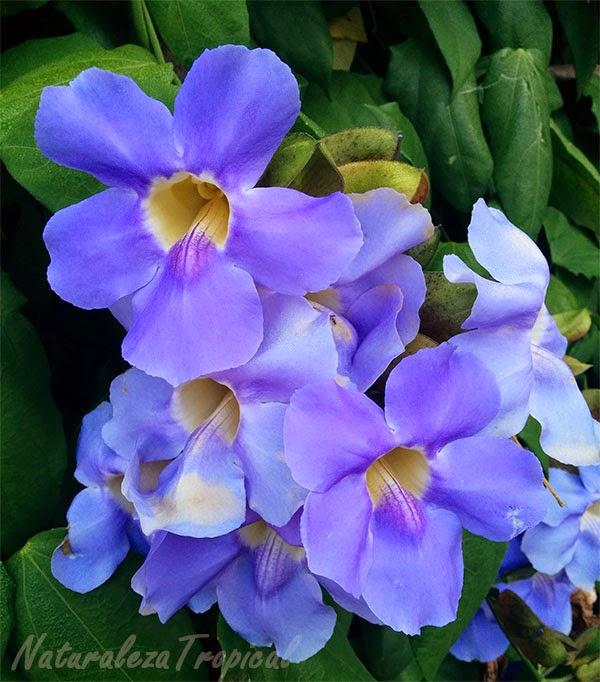 Tumbergia azul, nombre popular de la variedad azul de Thunbergia grandiflora