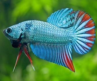 Ikan Cupang Aduan, Tubuh Kecil Nyalinya Gede