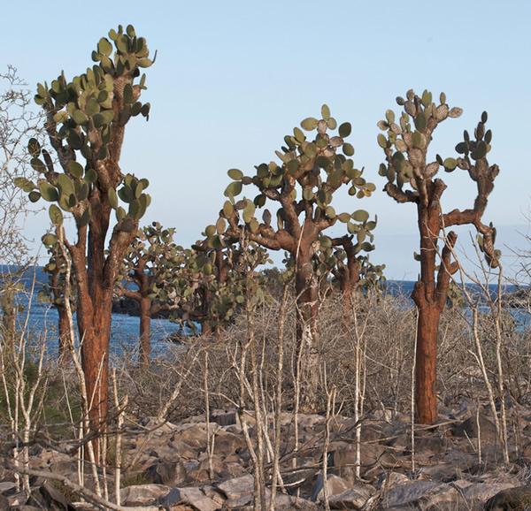 Galapagos cacti