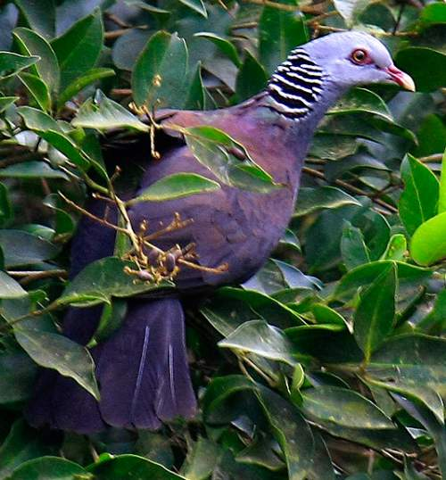 Birds of India - Photo of Nilgiri wood pigeon - Columba elphinstonii
