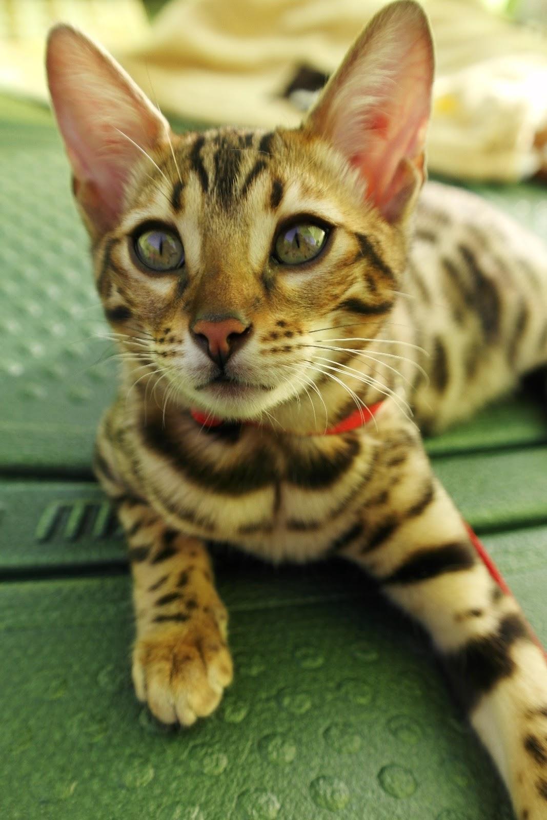 Animalspot Kot Bengalski Dzikie Piękno W Lamparciej Skórze