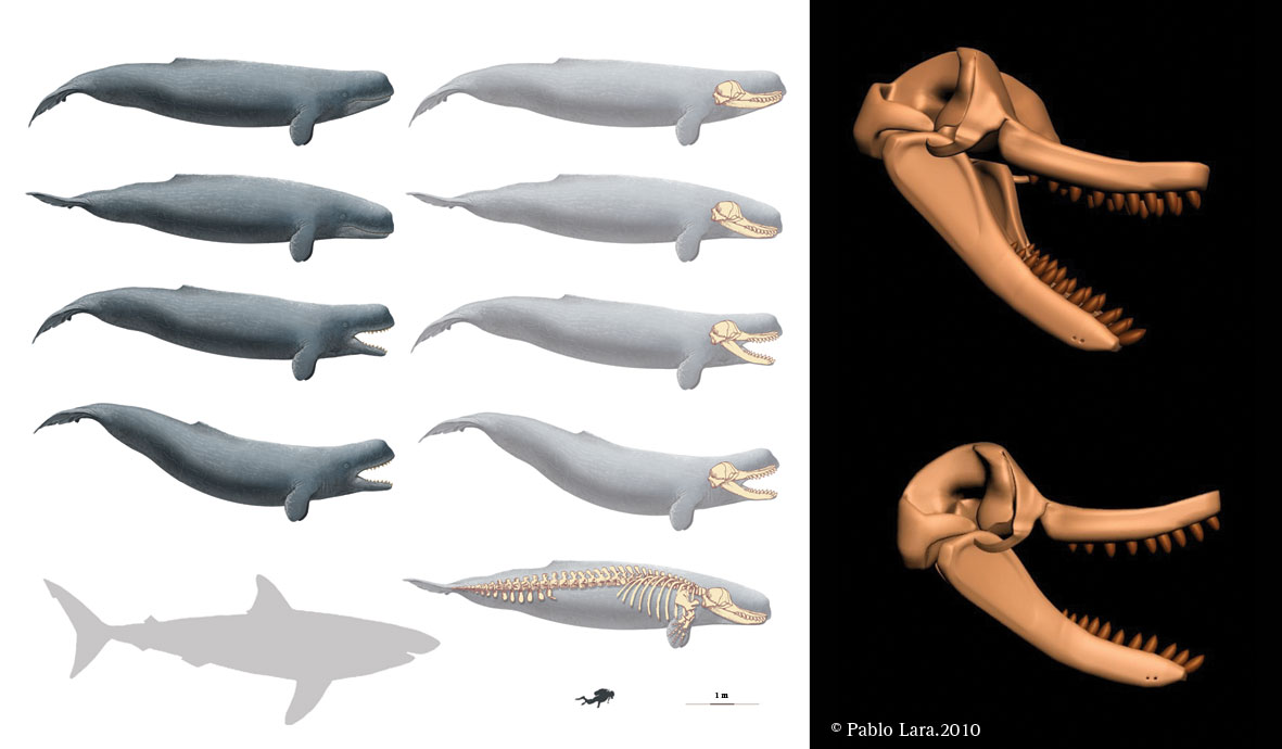livyatan melvillei compared to sperm whale wwwpixshark