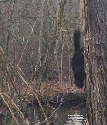 Black-Squirrel-Sighting-at-The-Massapequa-Nature-Preserve