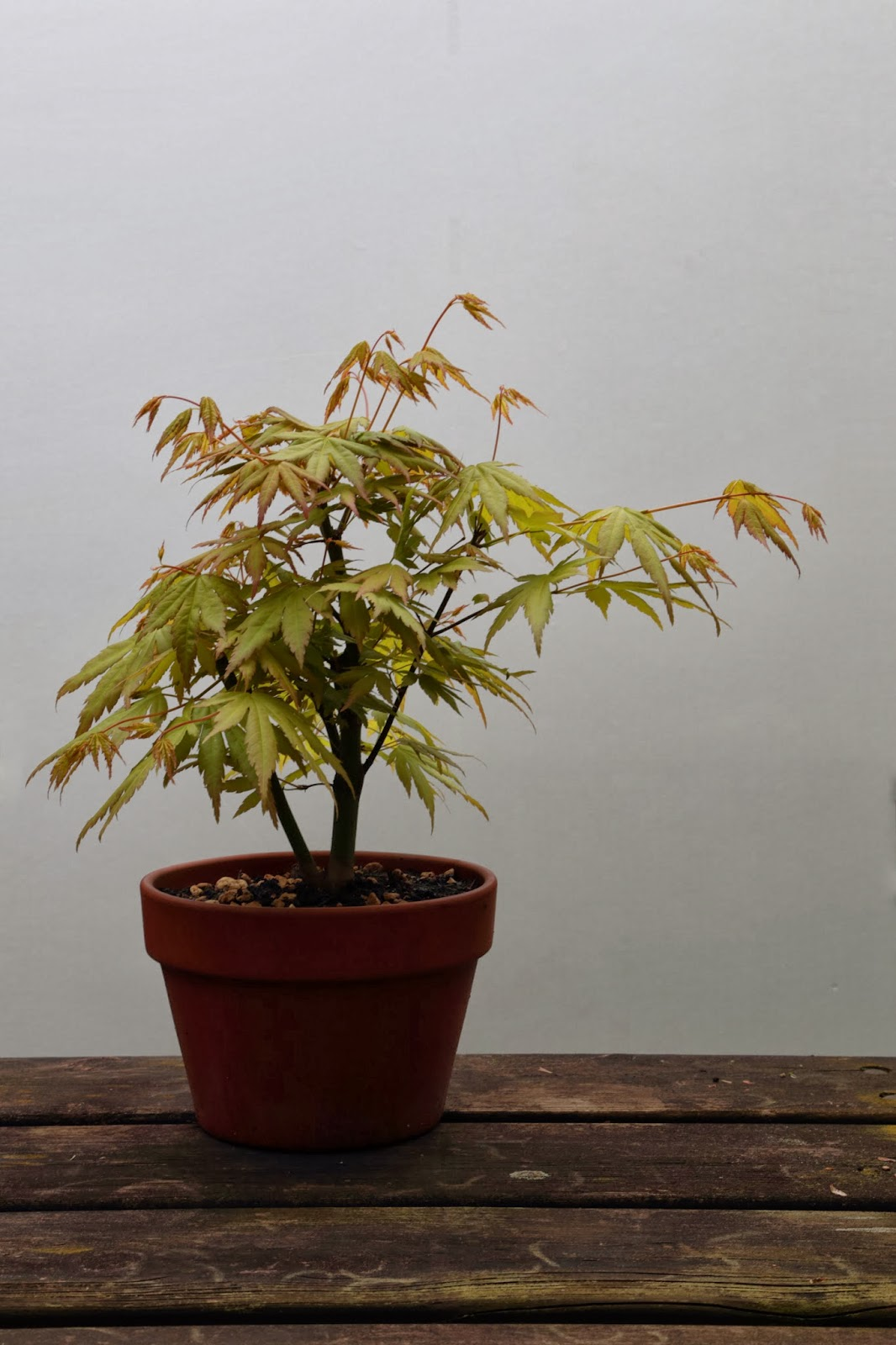 My Gardening Archive Orange Dream Smooth Japanese Maple