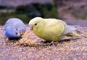 Periquitos amarillo y azul.